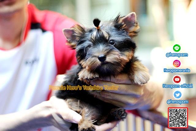 ขายยอร์คเชียร์ เทอร์เรีย,ขายยอร์คเชียร์,ยอร์คเชียร์ เทอร์เรีย,ยอร์คเชียร์,ลุกสุนัข,ลูกหมา,puppy,Yorkshire Terrier,Yorkshire